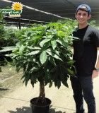 pachira braid money tree