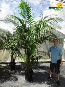 palm kentia hawaiian