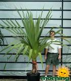 pandanus utilis palm screwpine