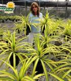 pandanus vetichii variegated screwpine