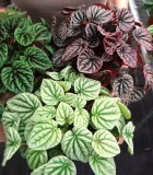 peperomia assorted ripple