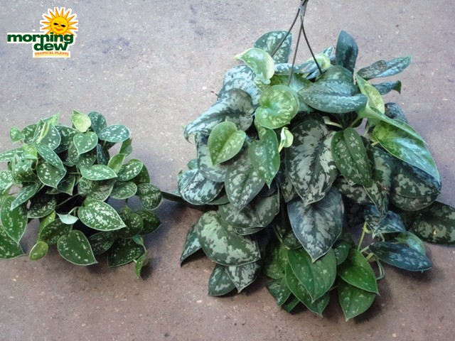 Pothos Morning Dew Tropical Plants