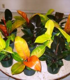 philodendron assorted