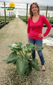 philodendron giganteum
