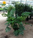 philodendron pertussum