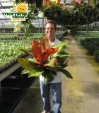 philodendron red king