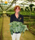 philodendron scindapsus