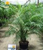 phoenix roebelenii palm multi