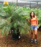 phoenix roebelenii multi palm