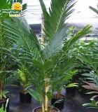 pinanga kuhlii ivory cane palm