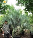 pindo palm butia capitata