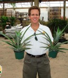 pineapple ananas plant