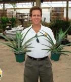pineapple ananas plant