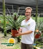 pineapple fruit plant
