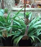 pineapple plant mini me