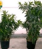 pleomele reflexa bush column