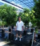podocarpus gracilior tree