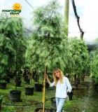 podocarpus gracilior standard tree