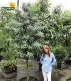 podocarpus henkelii tree