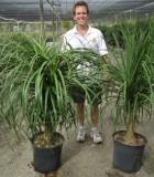 ponytail palm guatemalan