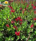 porterweed bloom