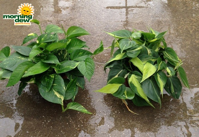 Golden Pothos Vs Philodendron Images