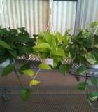 pothos jade neon marble queen