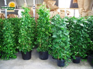 pyramid pothos golden jade