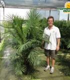 ravenea majesty palm multi