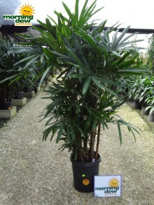 rhapis hawaiian palm