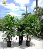 rhapis palm hawaiian