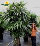 rhapis hawaiian palm