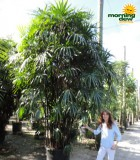 rhapis palm hawaiian