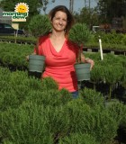 rosemary herb tree topiary