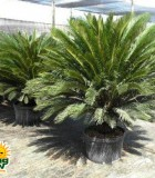 sago king cycad