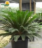 sago king palm