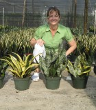 sansevieria assorted compact varieties snake plant