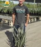 sansevieria bantels sensation snake plant