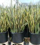 sansevieria black gold snake plant