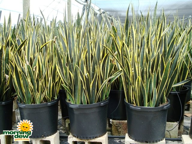 Sansevieria - Morning Dew Tropical Plants