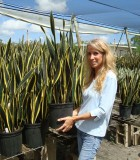 sansevieria black gold