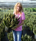 sansevieria black gold superba