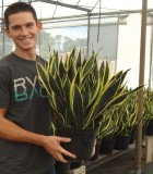 sansevieria black gold superba snake plant