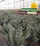 sansevieria congo snake plant