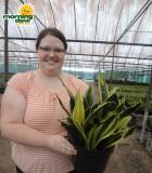 sansevieria gold flame snake plant