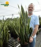 sansevieria laurentii snake plant