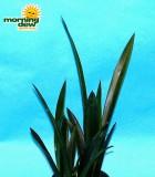 sansevieria onyx snake plant