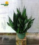 sansevieria robusta black snake plant