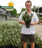 sansevieria superba snake plant
