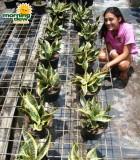 sansevieria twist snake plant